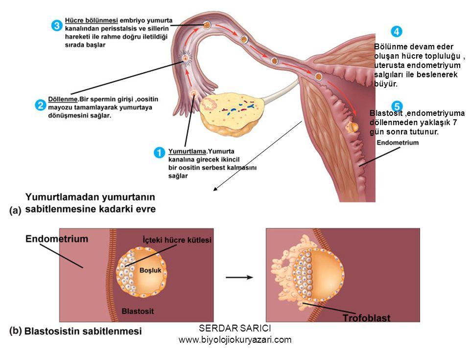 Bölünme devam eder oluşan hücre topluluğu, uterusta endometriyum salgıları ile beslenerek büyür.