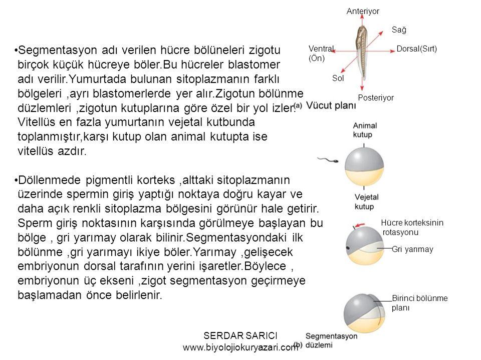 Anteriyor Sağ Dorsal(Sırt) Posteriyor Sol Ventral (Ön) Hücre korteksinin rotasyonu Gri yarımay Birinci bölünme planı Segmentasyon adı verilen hücre bölüneleri zigotu birçok küçük hücreye böler.Bu hücreler blastomer adı verilir.Yumurtada bulunan sitoplazmanın farklı bölgeleri,ayrı blastomerlerde yer alır.Zigotun bölünme düzlemleri,zigotun kutuplarına göre özel bir yol izler.