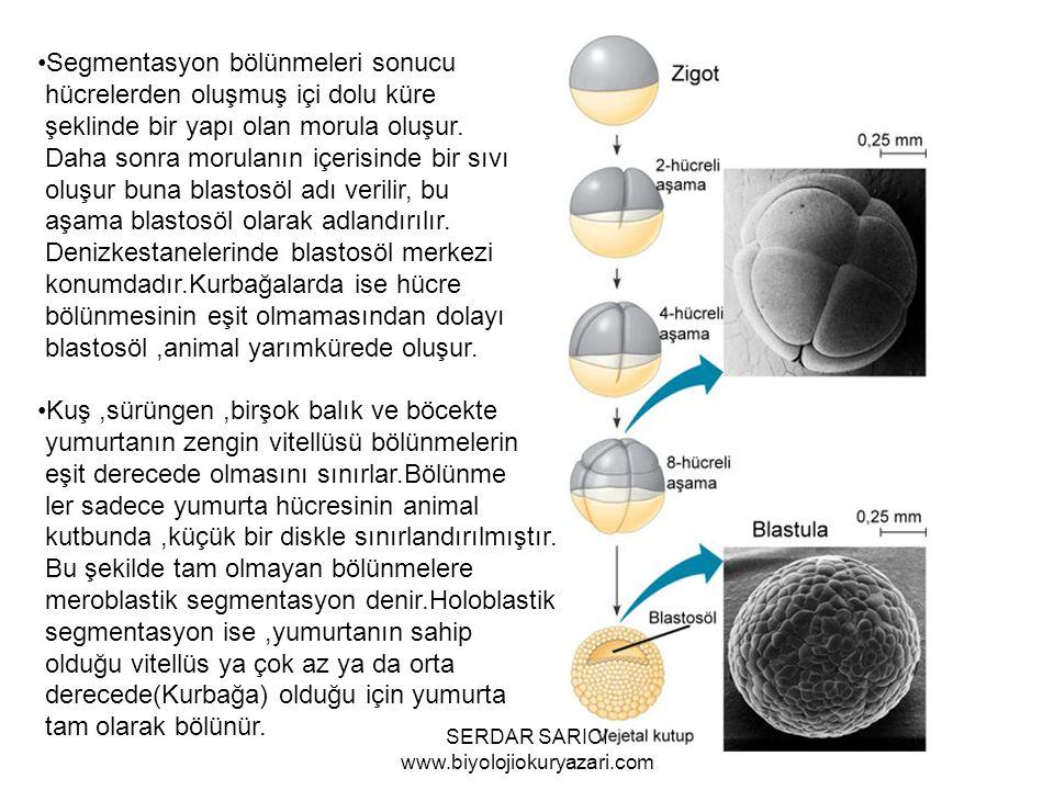 Segmentasyon bölünmeleri sonucu hücrelerden oluşmuş içi dolu küre şeklinde bir yapı olan morula oluşur.