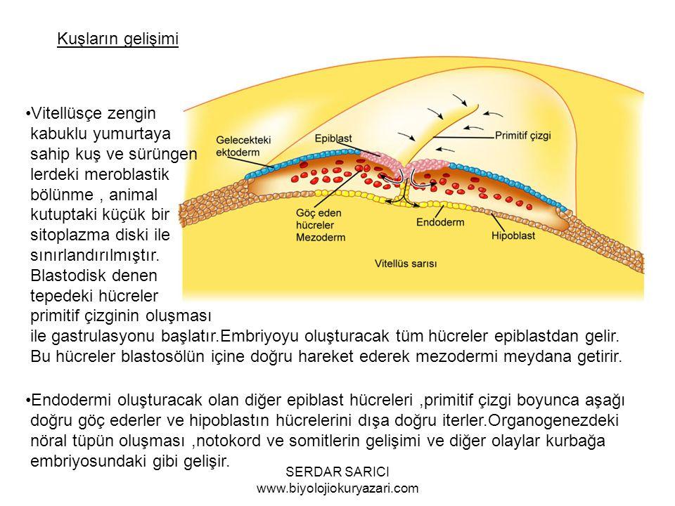 Kuşların gelişimi Vitellüsçe zengin kabuklu yumurtaya sahip kuş ve sürüngen lerdeki meroblastik bölünme, animal kutuptaki küçük bir sitoplazma diski ile sınırlandırılmıştır.