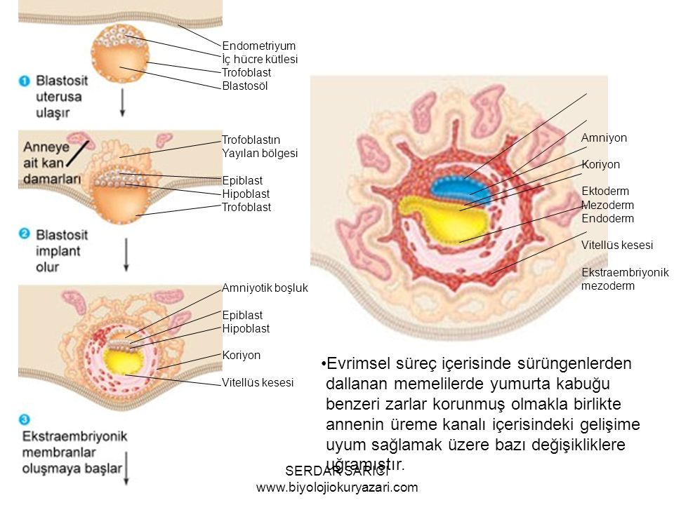 Endometriyum İç hücre kütlesi Trofoblast Blastosöl Trofoblastın Yayılan bölgesi Epiblast Hipoblast Trofoblast Amniyotik boşluk Epiblast Hipoblast Koriyon Vitellüs kesesi Amniyon Koriyon Ektoderm Mezoderm Endoderm Vitellüs kesesi Ekstraembriyonik mezoderm Evrimsel süreç içerisinde sürüngenlerden dallanan memelilerde yumurta kabuğu benzeri zarlar korunmuş olmakla birlikte annenin üreme kanalı içerisindeki gelişime uyum sağlamak üzere bazı değişikliklere uğramıştır.