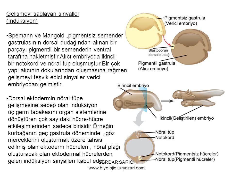 Gelişmeyi sağlayan sinyaller (İndüksiyon) Spemann ve Mangold,pigmentsiz semender gastrulasının dorsal dudağından alınan bir parçayı pigmentli bir semenderin ventral tarafına nakletmiştir.Alıcı embriyoda ikincil bir notokord ve nöral tüp oluşmuştur.Bir çok yapı alıcının dokularından oluşmasına rağmen gelişmeyi teşvik edici sinyaller verici embriyodan gelmiştir.