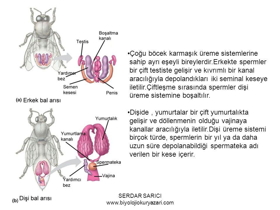 Çoğu böcek karmaşık üreme sistemlerine sahip ayrı eşeyli bireylerdir.Erkekte spermler bir çift testiste gelişir ve kıvrımlı bir kanal aracılığıyla depolandıkları iki seminal keseye iletilir.Çiftleşme sırasında spermler dişi üreme sistemine boşaltılır.