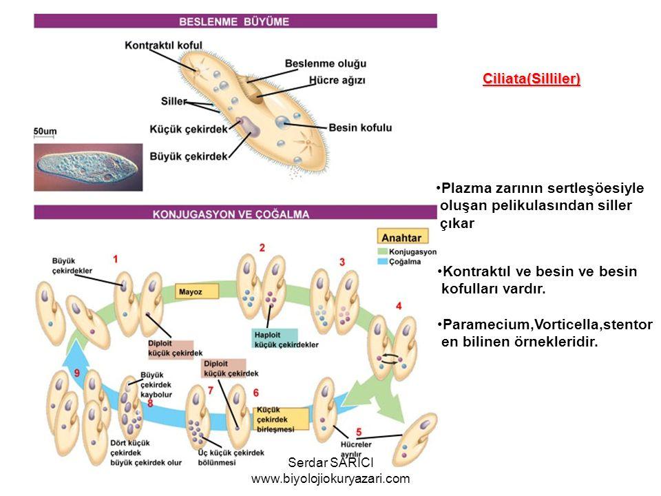 BESLENME VE GELİŞME Ciliata(Silliler) Plazma zarının sertleşöesiyle oluşan pelikulasından siller çıkar Kontraktıl ve besin ve besin kofulları vardır.
