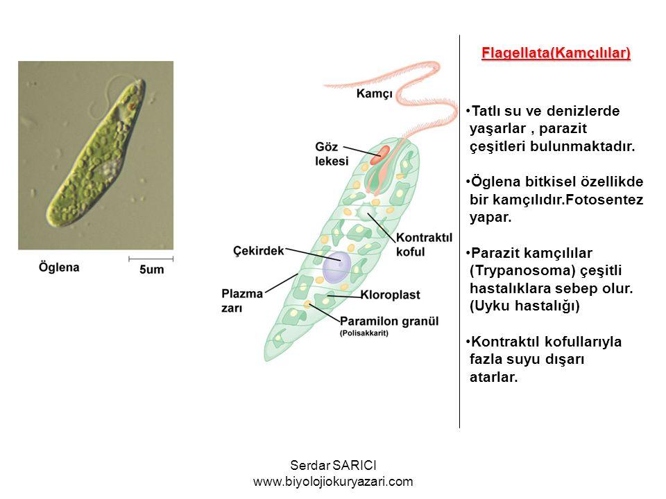 Flagellata(Kamçılılar) Tatlı su ve denizlerde yaşarlar, parazit çeşitleri bulunmaktadır. Öglena bitkisel özellikde bir kamçılıdır.Fotosentez yapar. Pa