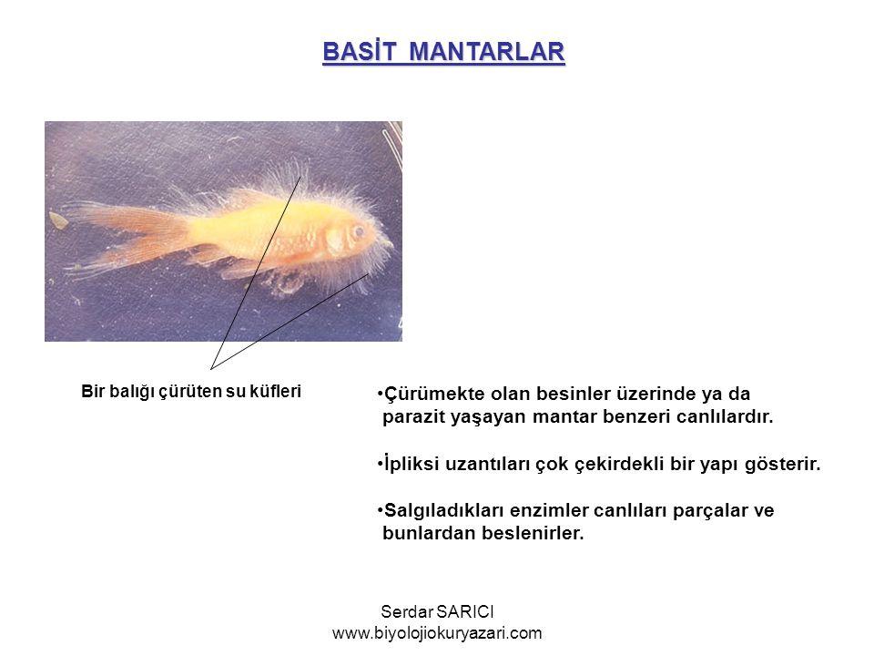 BASİT MANTARLAR Bir balığı çürüten su küfleri Çürümekte olan besinler üzerinde ya da parazit yaşayan mantar benzeri canlılardır. İpliksi uzantıları ço