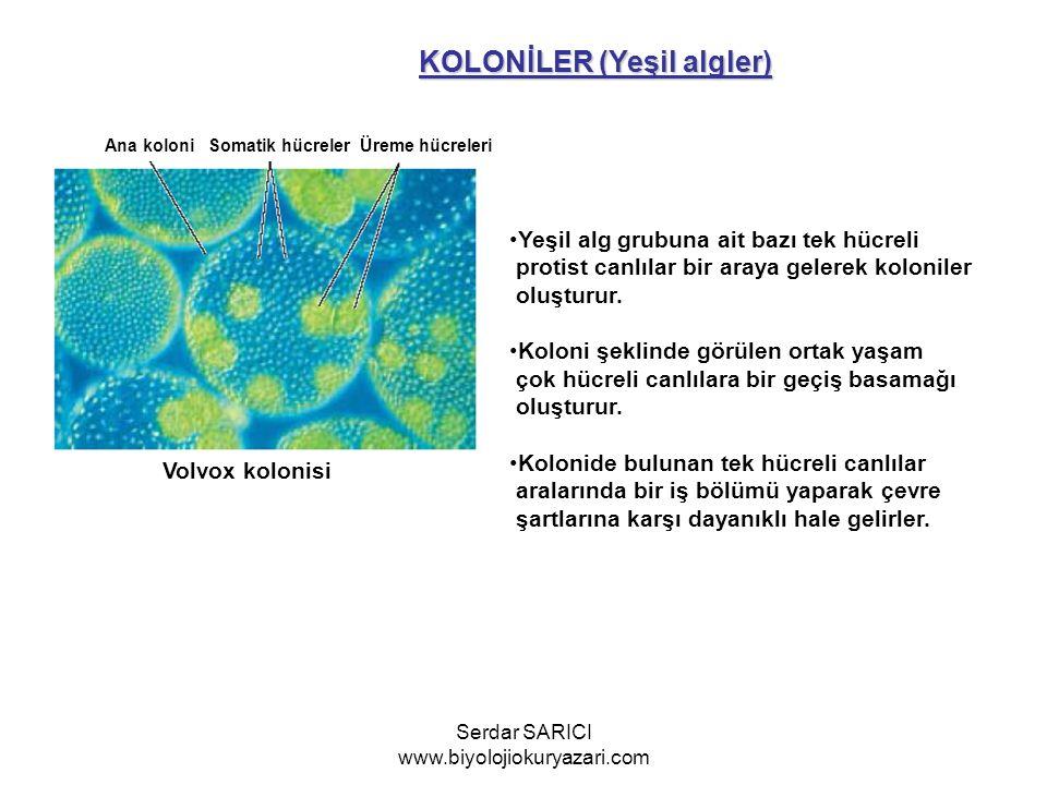 KOLONİLER (Yeşil algler) Ana koloni Somatik hücreler Üreme hücreleri Volvox kolonisi Yeşil alg grubuna ait bazı tek hücreli protist canlılar bir araya gelerek koloniler oluşturur.