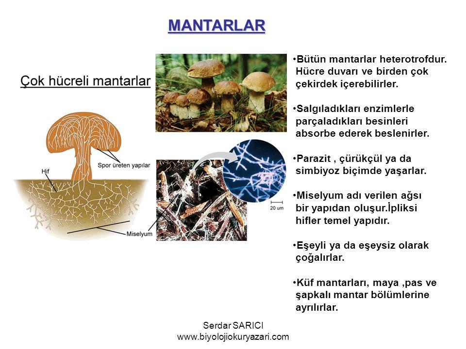 MANTARLAR Bütün mantarlar heterotrofdur. Hücre duvarı ve birden çok çekirdek içerebilirler. Salgıladıkları enzimlerle parçaladıkları besinleri absorbe