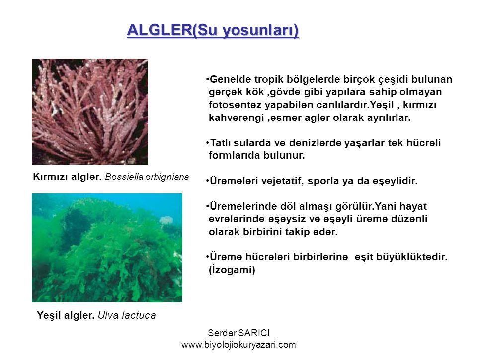 ALGLER(Su yosunları) Kırmızı algler. Bossiella orbigniana Yeşil algler. Ulva lactuca Genelde tropik bölgelerde birçok çeşidi bulunan gerçek kök,gövde