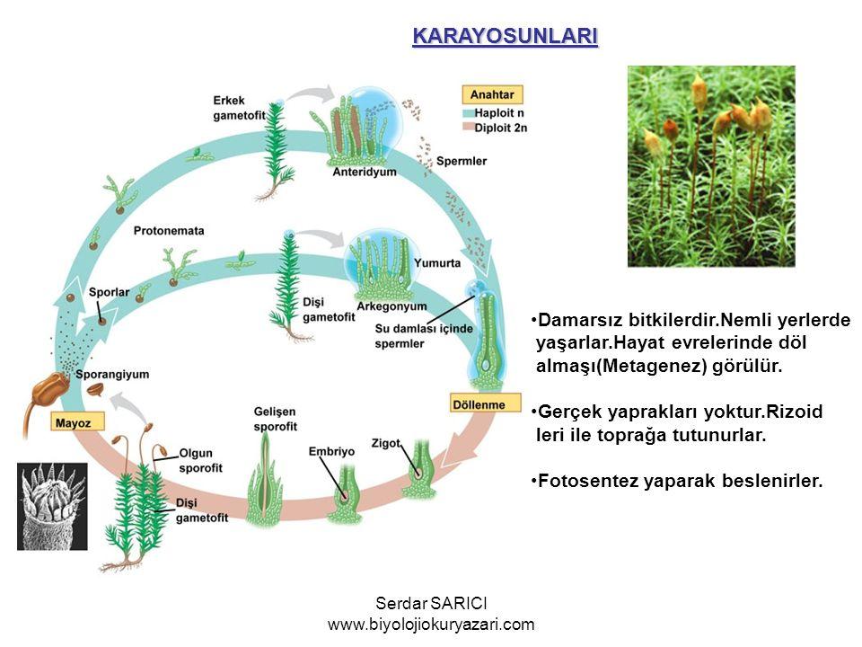 KARAYOSUNLARI Damarsız bitkilerdir.Nemli yerlerde yaşarlar.Hayat evrelerinde döl almaşı(Metagenez) görülür. Gerçek yaprakları yoktur.Rizoid leri ile t