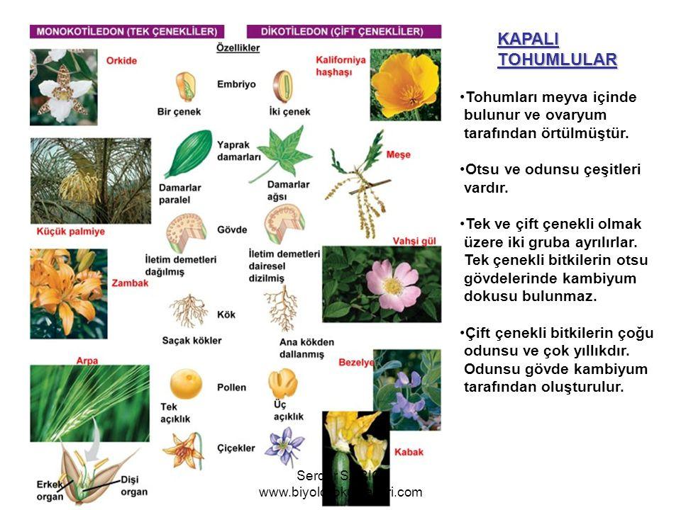 KAPALITOHUMLULAR Tohumları meyva içinde bulunur ve ovaryum tarafından örtülmüştür. Otsu ve odunsu çeşitleri vardır. Tek ve çift çenekli olmak üzere ik