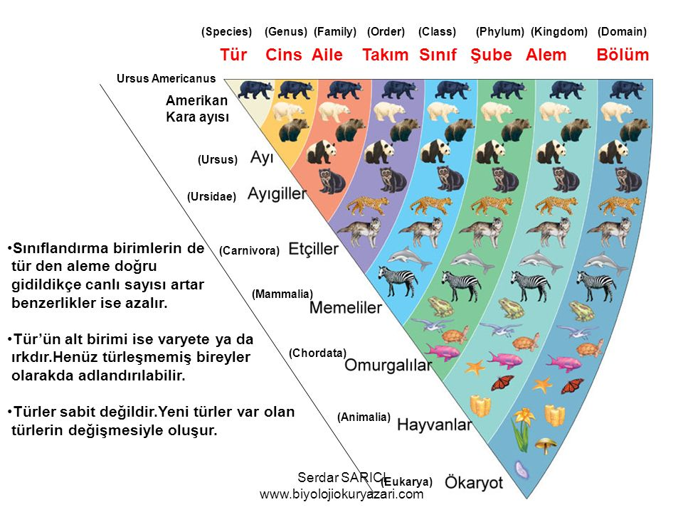 Amerikan Kara ayısı Ursus Americanus (Ursus) (Ursidae) (Carnivora) (Mammalia) (Chordata) (Animalia) (Eukarya) Tür Cins Aile Takım Sınıf Şube Alem Bölüm (Species) (Genus) (Family) (Order) (Class) (Phylum) (Kingdom) (Domain) Sınıflandırma birimlerin de tür den aleme doğru gidildikçe canlı sayısı artar benzerlikler ise azalır.