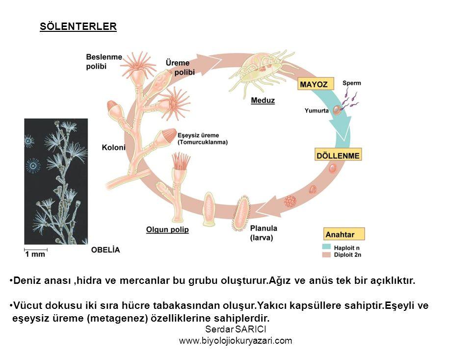 SÖLENTERLER Deniz anası,hidra ve mercanlar bu grubu oluşturur.Ağız ve anüs tek bir açıklıktır. Vücut dokusu iki sıra hücre tabakasından oluşur.Yakıcı
