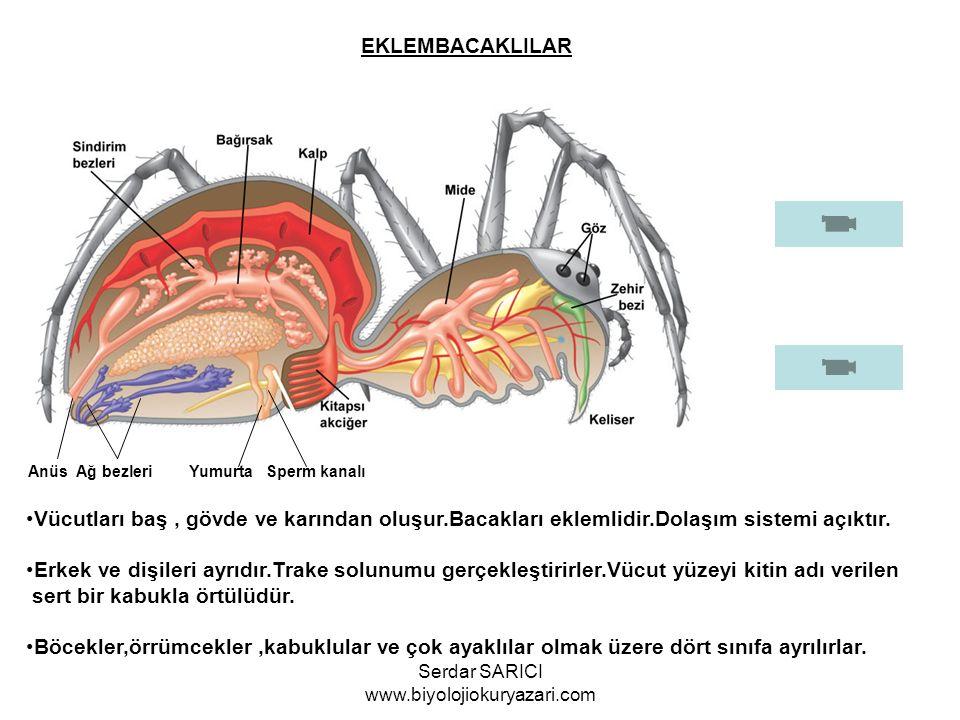 EKLEMBACAKLILAR Anüs Ağ bezleri Yumurta Sperm kanalı Vücutları baş, gövde ve karından oluşur.Bacakları eklemlidir.Dolaşım sistemi açıktır. Erkek ve di