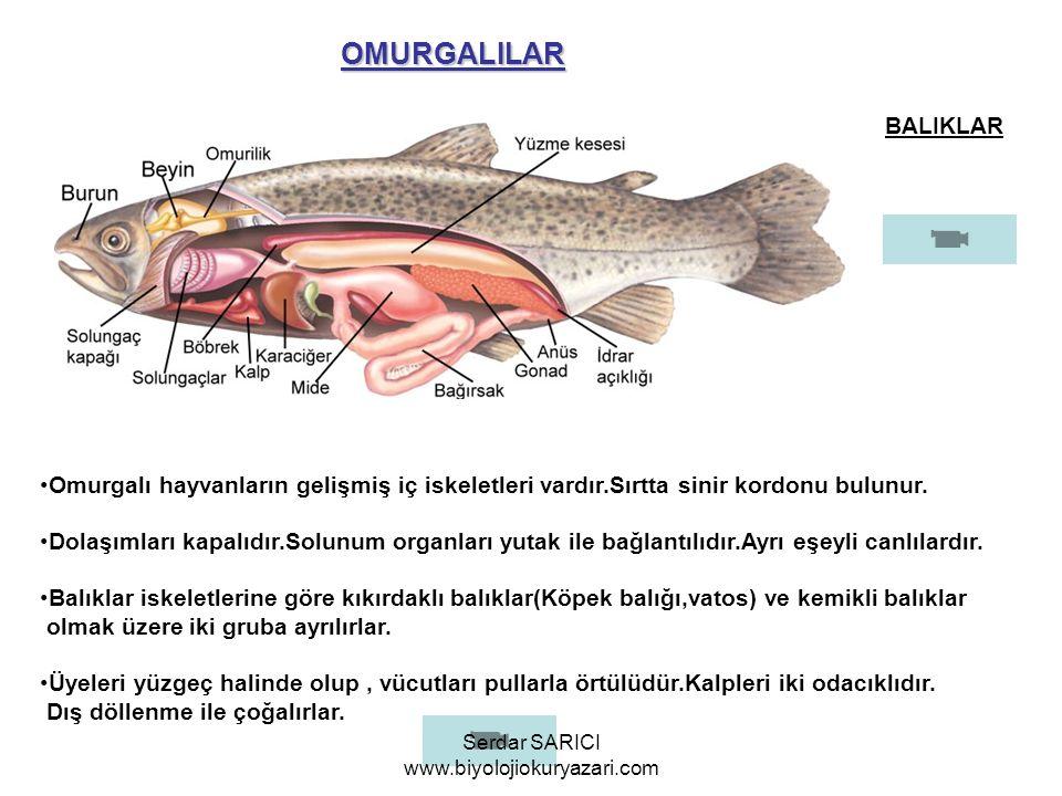 OMURGALILAR BALIKLAR Omurgalı hayvanların gelişmiş iç iskeletleri vardır.Sırtta sinir kordonu bulunur. Dolaşımları kapalıdır.Solunum organları yutak i
