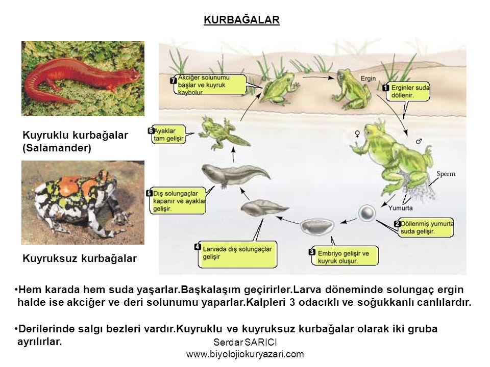 KURBAĞALAR Kuyruklu kurbağalar (Salamander) Kuyruksuz kurbağalar Hem karada hem suda yaşarlar.Başkalaşım geçirirler.Larva döneminde solungaç ergin halde ise akciğer ve deri solunumu yaparlar.Kalpleri 3 odacıklı ve soğukkanlı canlılardır.