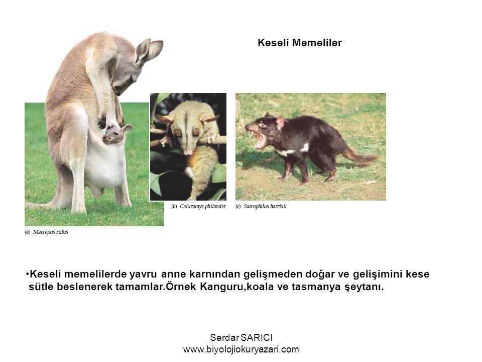 Keseli Memeliler Keseli memelilerde yavru anne karnından gelişmeden doğar ve gelişimini kese sütle beslenerek tamamlar.Örnek Kanguru,koala ve tasmanya şeytanı.