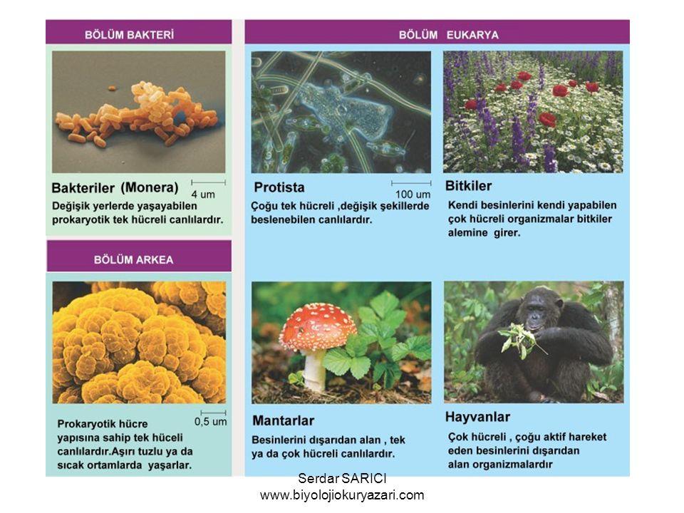 KAPALITOHUMLULAR Tohumları meyva içinde bulunur ve ovaryum tarafından örtülmüştür.