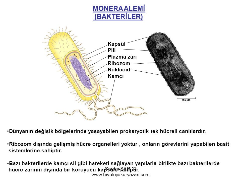 MONERA ALEMİ (BAKTERİLER) (BAKTERİLER) Kapsül Pili Plazma zarı Ribozom Nükleoid Kamçı Dünyanın değişik bölgelerinde yaşayabilen prokaryotik tek hücreli canlılardır.