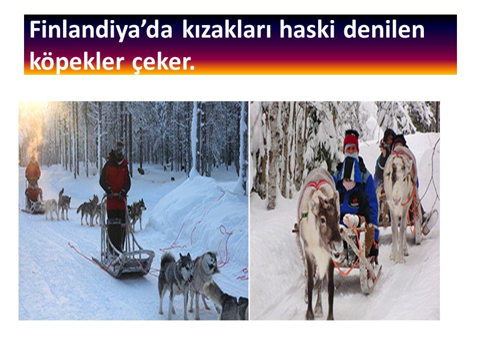 Finlandiya'da kızakları haski denilen köpekler çeker.