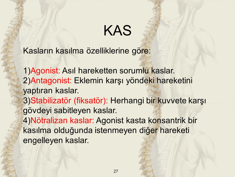 27 Kasların kasılma özelliklerine göre: 1)Agonist: Asıl hareketten sorumlu kaslar.