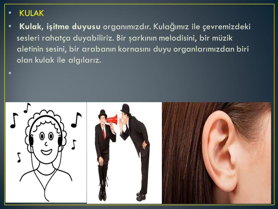 KULAK Kulak, işitme duyusu organımızdır. Kula ğ ımız ile çevremizdeki sesleri rahatça duyabiliriz. Bir şarkının melodisini, bir müzik aletinin sesini,