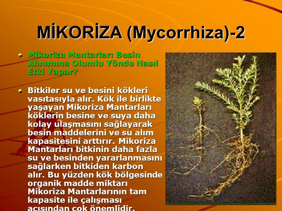 MİKORİZA (Mycorrhiza)-2 Mikoriza Mantarları Besin Alınımına Olumlu Yönde Nasıl Etki Yapar? Bitkiler su ve besini kökleri vasıtasıyla alır. Kök ile bir