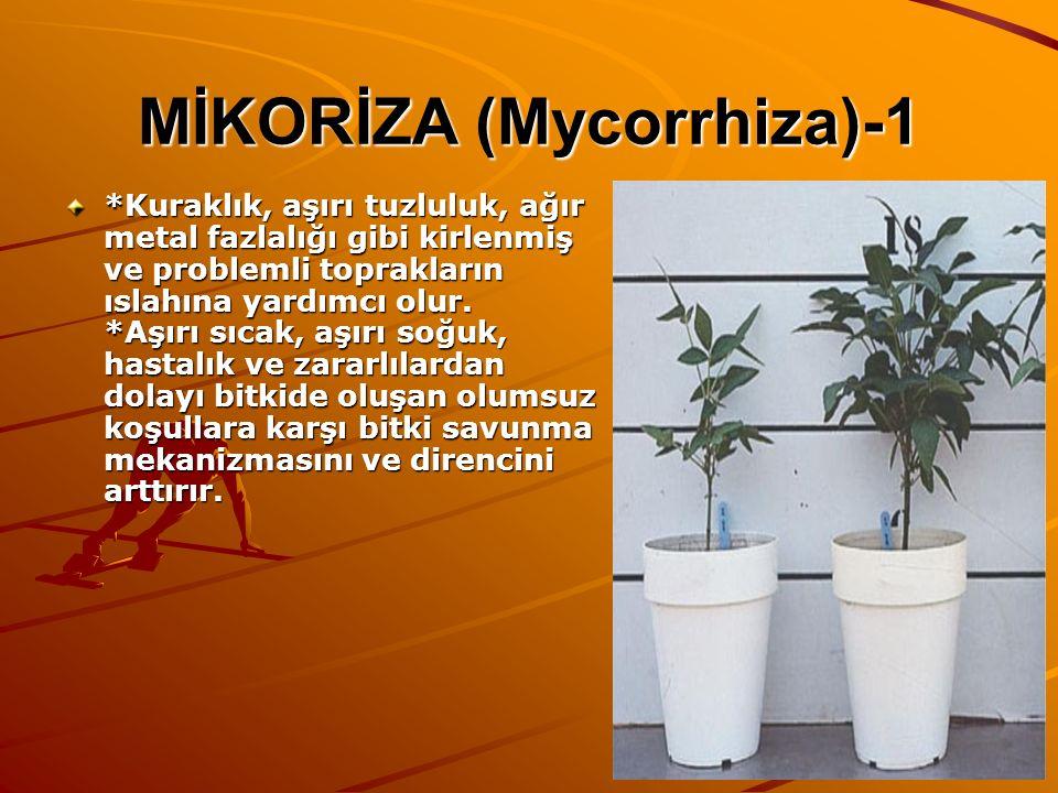 MİKORİZA (Mycorrhiza)-1 *Kuraklık, aşırı tuzluluk, ağır metal fazlalığı gibi kirlenmiş ve problemli toprakların ıslahına yardımcı olur. *Aşırı sıcak,