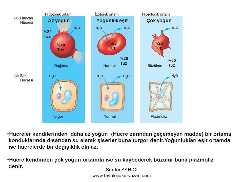 Az yoğun Yoğunluk eşit Çok yoğun Hücreler kendilerinden daha az yoğun (Hücre zarından geçemeyen madde) bir ortama konduklarında dışarıdan su alarak şi