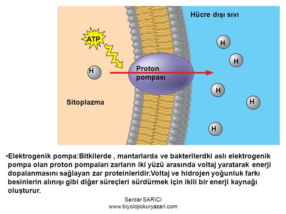 ATP H Proton pompası H H H H H Sitoplazma Hücre dışı sıvı Elektrogenik pompa:Bitkilerde, mantarlarda ve bakterilerdki aslı elektrogenik pompa olan pro