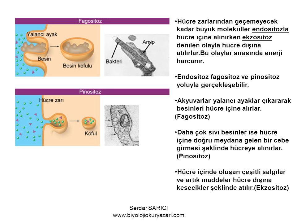 Hücre zarlarından geçemeyecek kadar büyük moleküller endositozla hücre içine alınırken ekzositoz denilen olayla hücre dışına atılırlar.Bu olaylar sıra