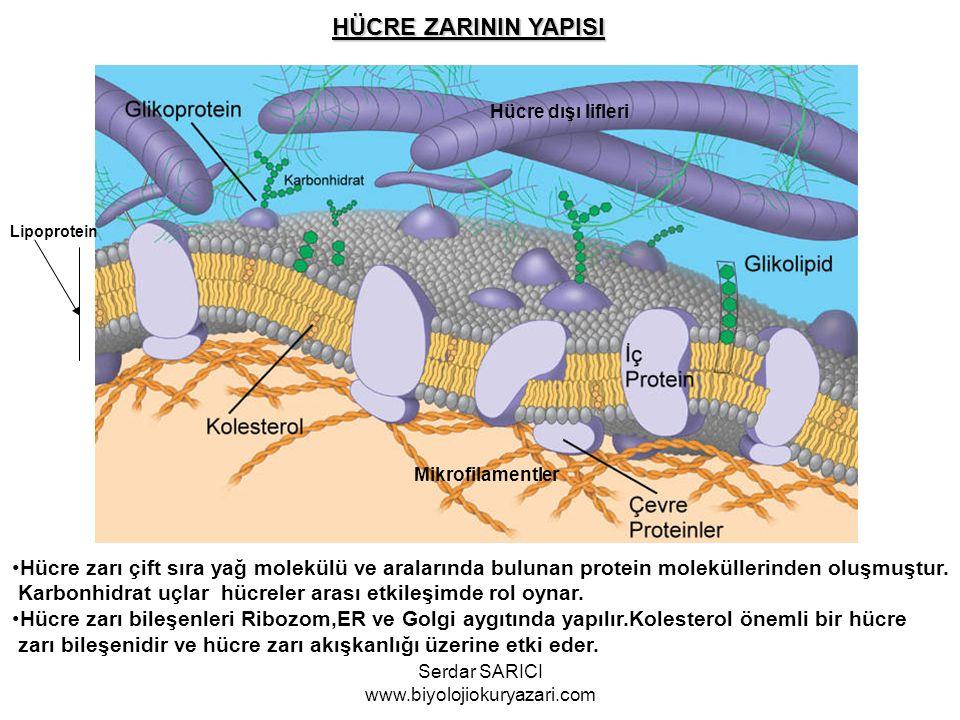 Mikrofilamentler Hücre dışı lifleri HÜCRE ZARININ YAPISI Hücre zarı çift sıra yağ molekülü ve aralarında bulunan protein moleküllerinden oluşmuştur. K