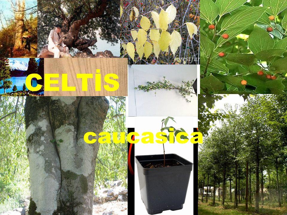 BİLİMSEL SINIFLANDIRMA  Kingdom(Alem)-Plantae  Subkingdom-Tracheobionta  Suberdivision-Spermatophyta  Division(Bölüm)-Magnoliophyta  Class(Sınıf)-Magnoliopsida  Subclass-Hamamelidiae  Order(Takım)-Urticales  Family-Cannabaceae  Genus(cins)-Celtis L.
