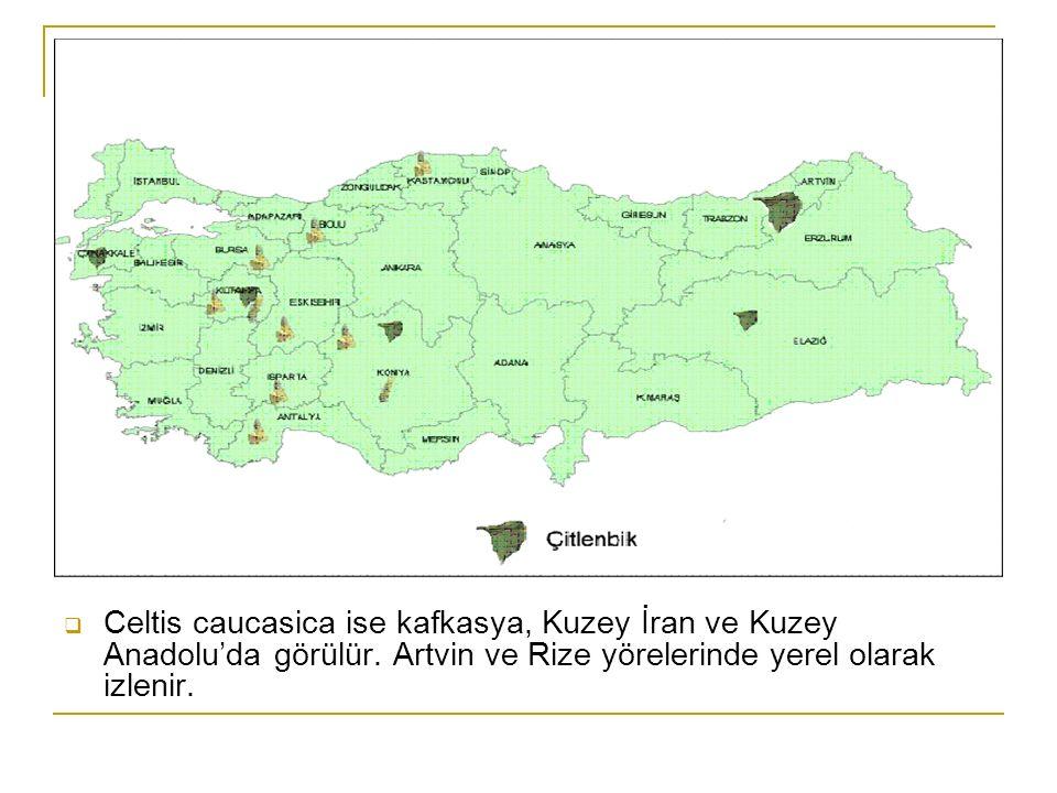  Celtis caucasica ise kafkasya, Kuzey İran ve Kuzey Anadolu'da görülür.