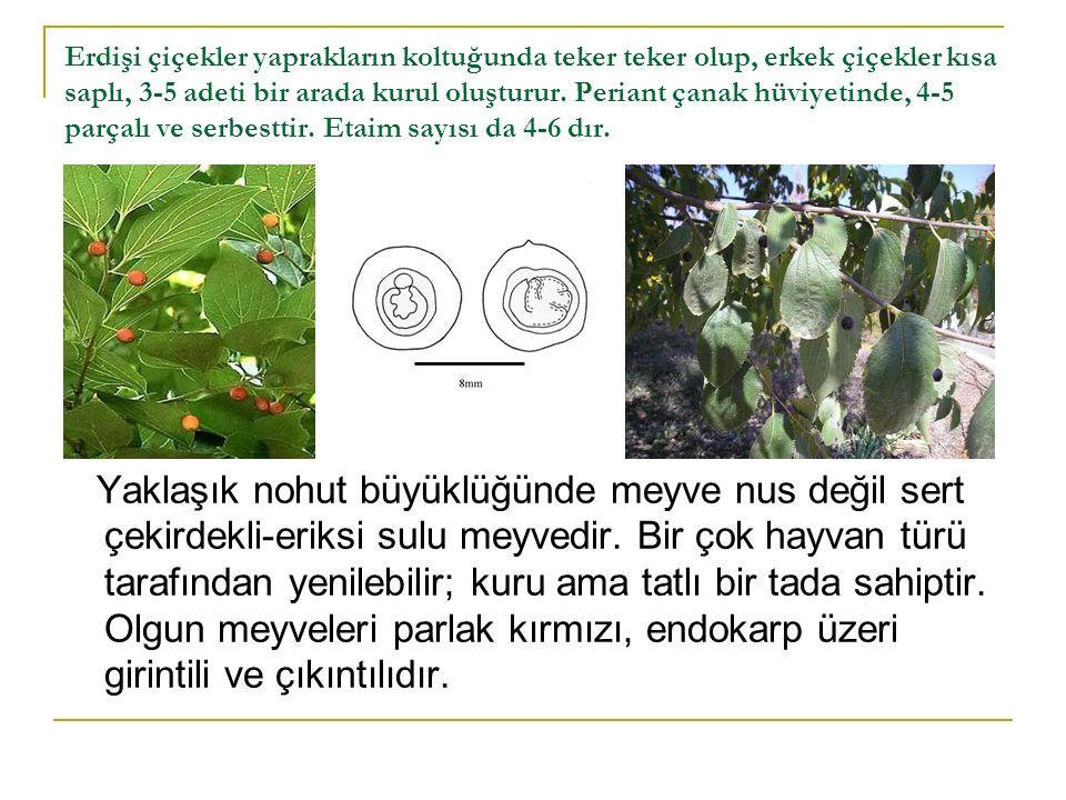 Odunlarında karaağaçlardan geniş özışınları ve kül renkli öz odunları ile ayrılır.