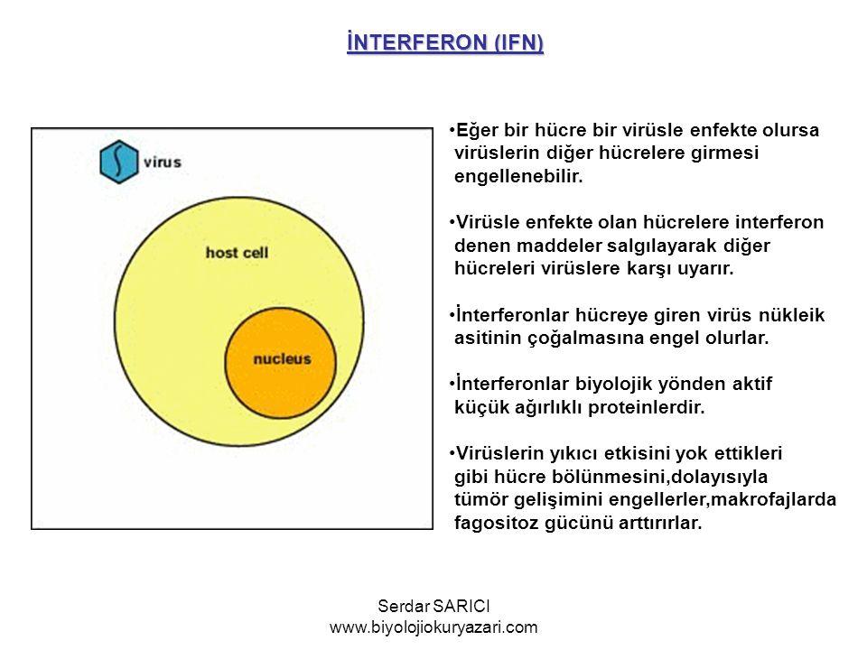 İNTERFERON (IFN) Eğer bir hücre bir virüsle enfekte olursa virüslerin diğer hücrelere girmesi engellenebilir. Virüsle enfekte olan hücrelere interfero