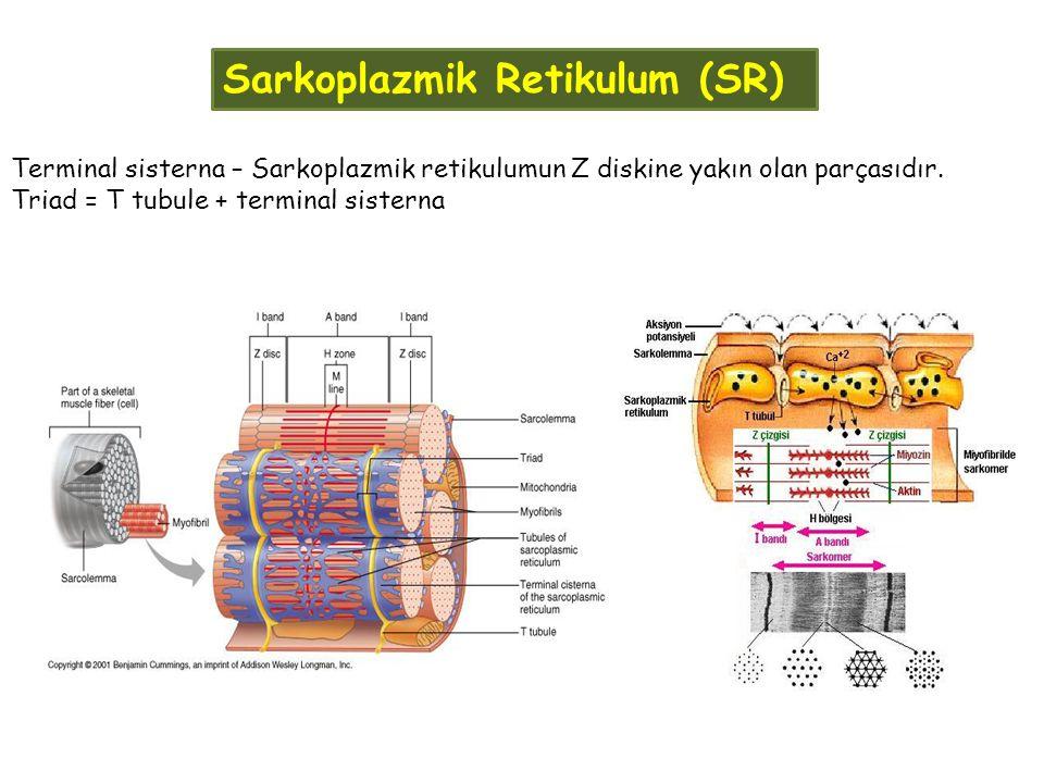 Sarkoplazmik Retikulum (SR) Terminal sisterna – Sarkoplazmik retikulumun Z diskine yakın olan parçasıdır. Triad = T tubule + terminal sisterna