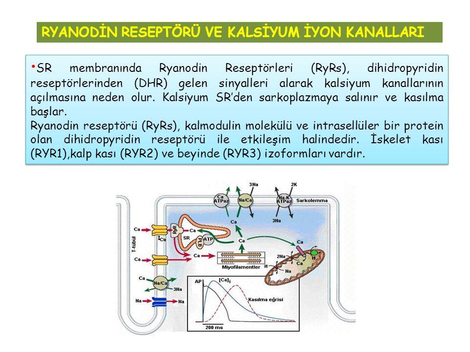 SR membranında Ryanodin Reseptörleri (RyRs), dihidropyridin reseptörlerinden (DHR) gelen sinyalleri alarak kalsiyum kanallarının açılmasına neden olur