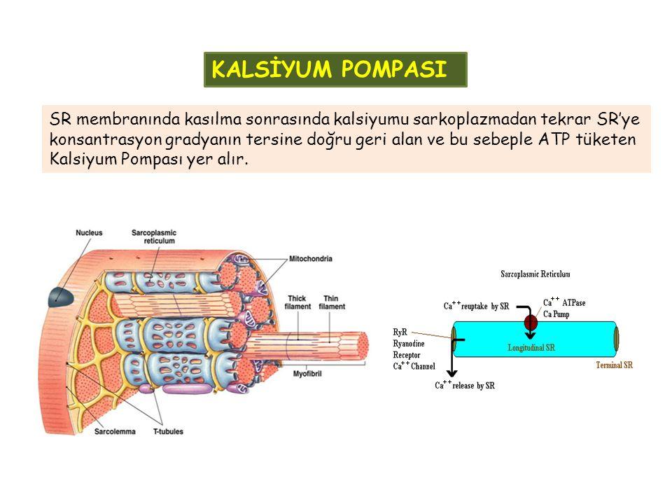 KALSİYUM POMPASI SR membranında kasılma sonrasında kalsiyumu sarkoplazmadan tekrar SR'ye konsantrasyon gradyanın tersine doğru geri alan ve bu sebeple