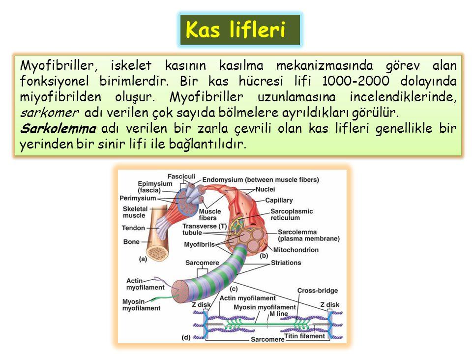 Myofibriller, iskelet kasının kasılma mekanizmasında görev alan fonksiyonel birimlerdir. Bir kas hücresi lifi 1000-2000 dolayında miyofibrilden oluşur