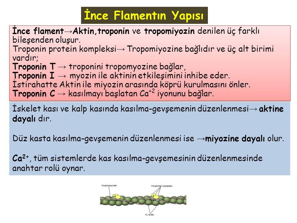 İnce flament → Aktin,troponin ve tropomiyozin denilen üç farklı bileşenden oluşur. Troponin protein kompleksi → Tropomiyozine bağlıdır ve üç alt birim
