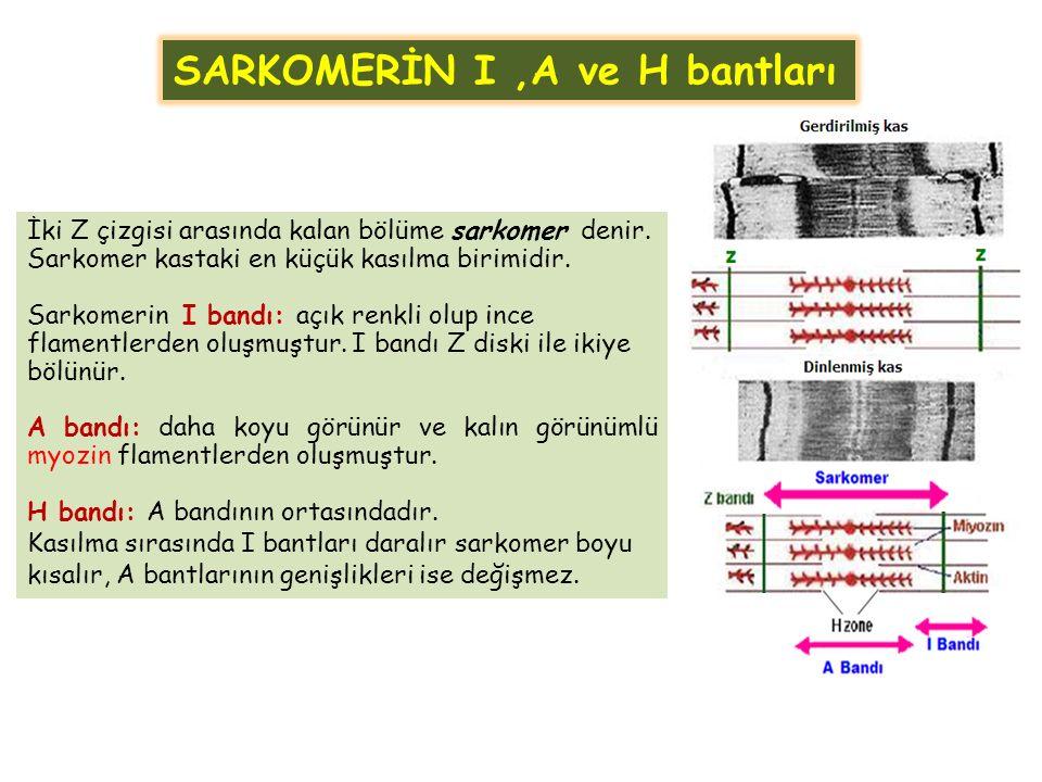 SARKOMERİN I,A ve H bantları İki Z çizgisi arasında kalan bölüme sarkomer denir. Sarkomer kastaki en küçük kasılma birimidir. Sarkomerin I bandı: açık