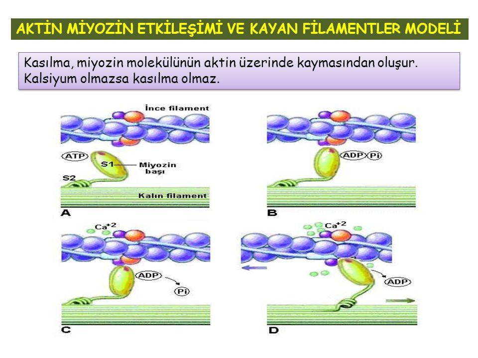 AKTİN MİYOZİN ETKİLEŞİMİ VE KAYAN FİLAMENTLER MODELİ Kasılma, miyozin molekülünün aktin üzerinde kaymasından oluşur. Kalsiyum olmazsa kasılma olmaz.