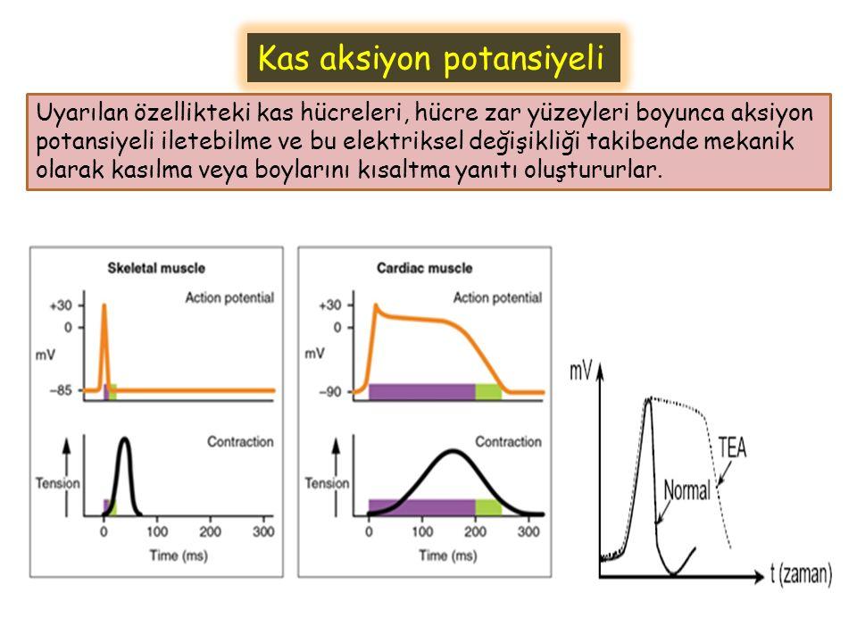 Kas aksiyon potansiyeli Uyarılan özellikteki kas hücreleri, hücre zar yüzeyleri boyunca aksiyon potansiyeli iletebilme ve bu elektriksel değişikliği t