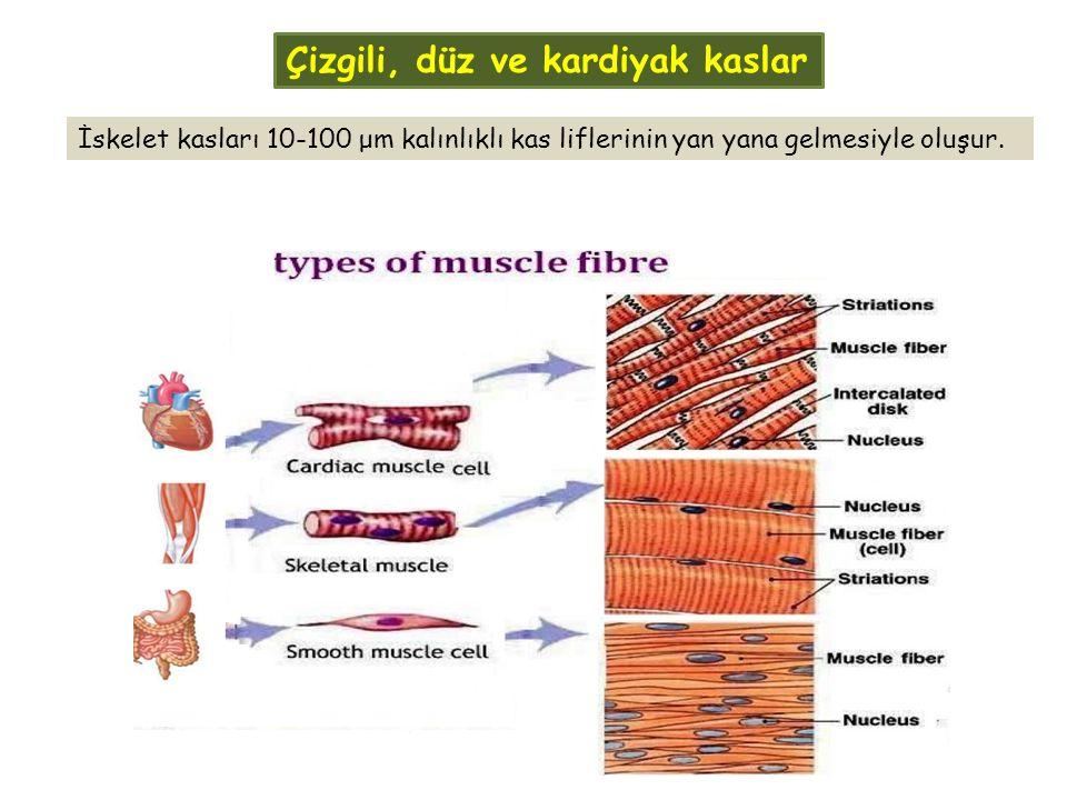 İskelet kasları 10-100 μm kalınlıklı kas liflerinin yan yana gelmesiyle oluşur. Çizgili, düz ve kardiyak kaslar