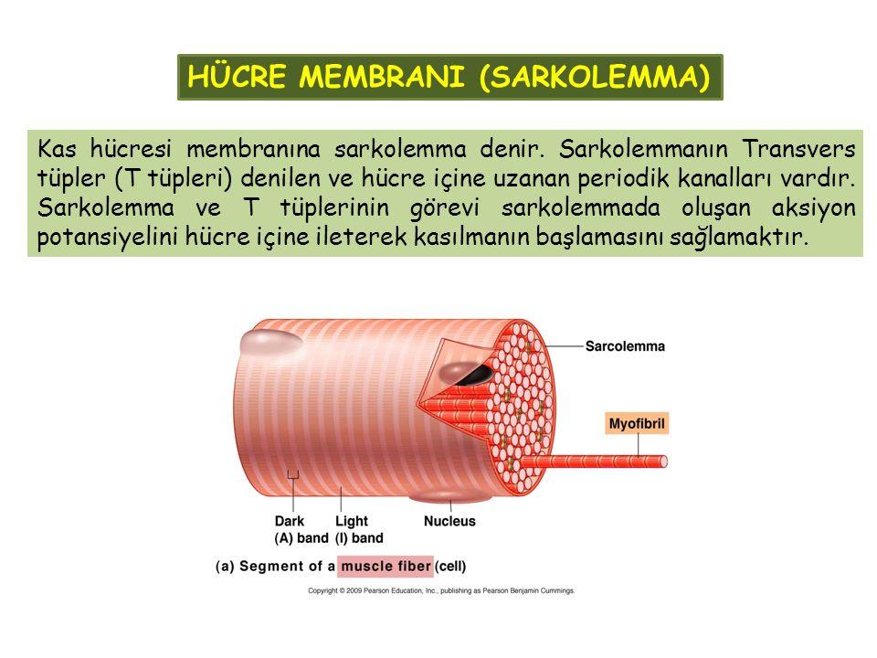 Kas hücresi membranına sarkolemma denir. Sarkolemmanın Transvers tüpler (T tüpleri) denilen ve hücre içine uzanan periodik kanalları vardır. Sarkolemm
