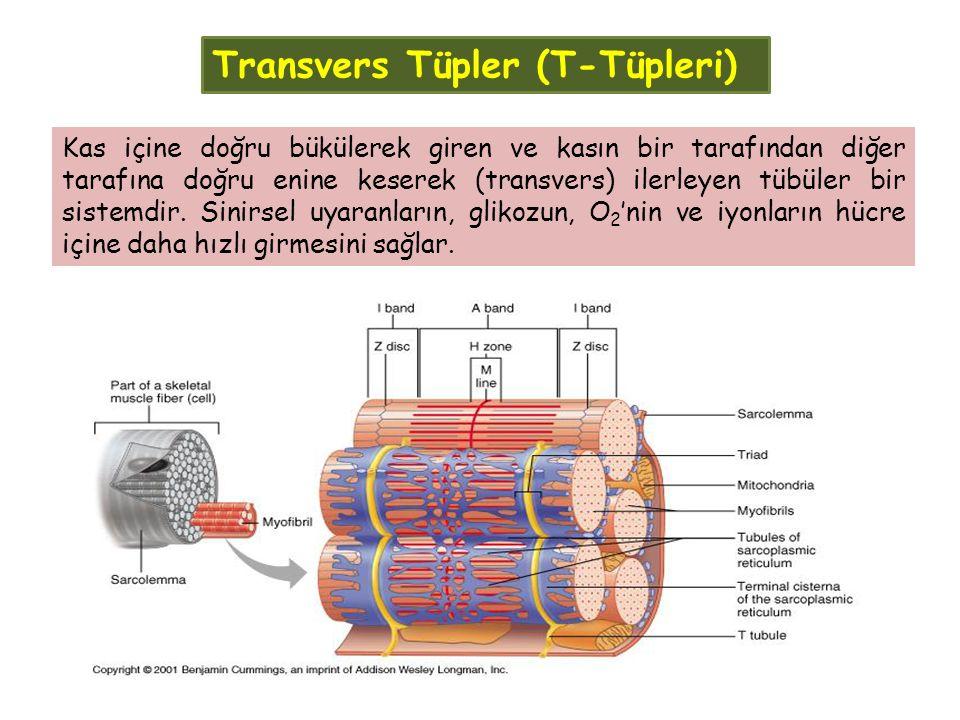 Transvers Tüpler (T-Tüpleri) Kas içine doğru bükülerek giren ve kasın bir tarafından diğer tarafına doğru enine keserek (transvers) ilerleyen tübüler