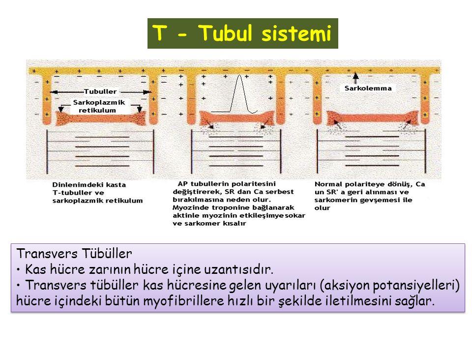T - Tubul sistemi Transvers Tübüller Kas hücre zarının hücre içine uzantısıdır. Transvers tübüller kas hücresine gelen uyarıları (aksiyon potansiyelle