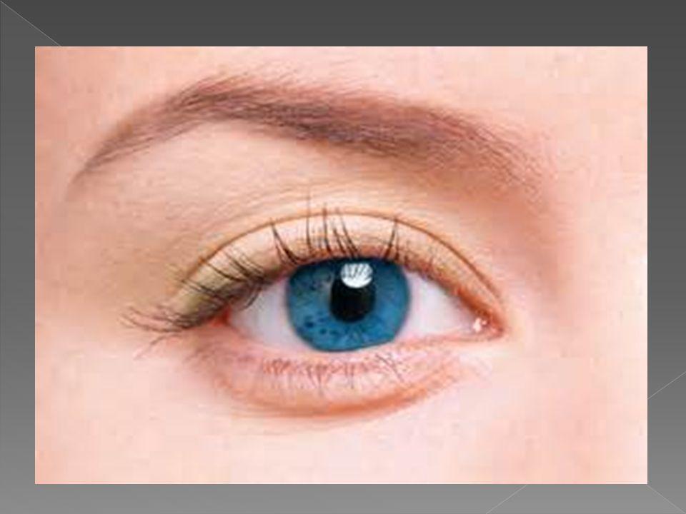  Gözümüz dıştan içe doğru: sert tabaka(göz akı),damat tabaka, ağ tabakadan oluşur.