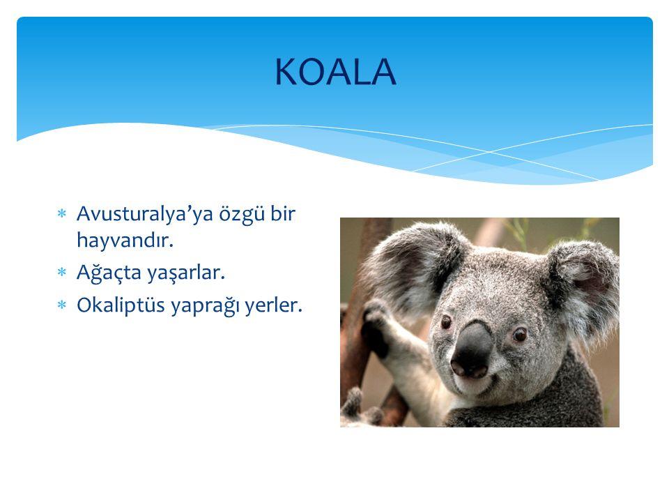 KOALA  Avusturalya'ya özgü bir hayvandır.  Ağaçta yaşarlar.  Okaliptüs yaprağı yerler.
